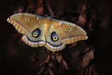 Polyphemus Photographic Print by Jimmy Hoffman