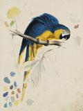Sketchbook Macaw I Giclee-trykk av Lear, Edward