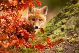 Fox Fotografie-Druck von Robert Adamec
