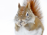 Christmas Squirrel Fotografisk tryk af Mircea Costina