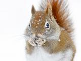 Christmas Squirrel Fotografie-Druck von Mircea Costina