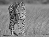 Focused Predator Fotografisk trykk av Jaco Marx