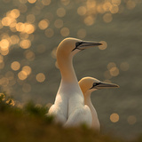 Gannets in Sunset Reproduction photographique par Karen Kolbeck