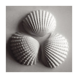 Clam Sea Shell Posters by John Harper