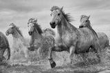 Pferde der Camargue Poster