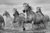 Camargue Horses Poster