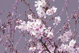 Spring Blossom - Pink Giclee Print by Joseph Eta