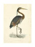 Vintage Purple Heron Kunstdruck von  Morris