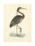 Vintage Purple Heron Print by  Morris