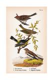 Vintage Birds: Sparrows, Snowflakes and Warblers, Plate 94 Posters par  Piddix