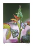 Roses 1 Limitierte Auflage von Florence Delva
