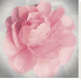 Belle Rose IV Stretched Canvas Print by Linda Wood