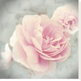 Belle Rose II Stretched Canvas Print by Linda Wood