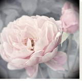 Belle Rose I Stretched Canvas Print by Linda Wood