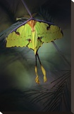 Moon Moth Stretched Canvas Print by Jimmy Hoffman
