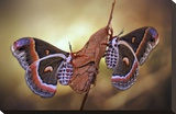 Robin Moths Stretched Canvas Print by Jimmy Hoffman