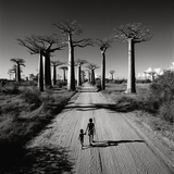 Allee Des Baobabs Giclee Print by Chris Simpson