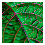 Leaf IV Prints by Peter Morneau