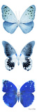 Miss Butterfly X-Ray White Pano II Photographic Print by Philippe Hugonnard