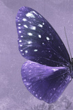 Miss Butterfly Euploea Profil - Purple Photographic Print by Philippe Hugonnard
