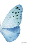 Miss Butterfly Euploea - X-Ray Right White Edition Fotoprint van Philippe Hugonnard