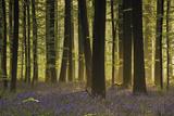 Bluebell Gathering Giclee-trykk av  Wild Wonders of Europe