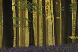 Through the Forest Giclee-trykk av  Wild Wonders of Europe