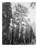 The Grizzly Giant and Mariposa Grove プレミアムエディション : Carleton E Watkins