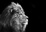 Der König der Löwen Kunstdrucke