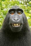 Mono haciéndose un selfie Lámina fotográfica por David Slater