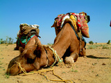 Camel Sleeping during a Desert Safari Pause Fotografie-Druck von paul prescott