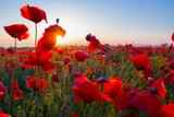 Early Morning Red Poppy Field Scene Fotoprint van Yuriy Kulik