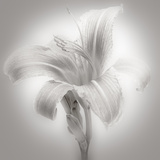 Tiger Lily II Photographic Print by James McLoughlin