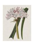Crinium Lily I Poster by Naomi McCavitt