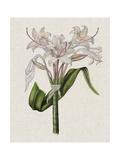 Crinium Lily II Premium Giclee Print by Naomi McCavitt