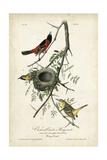 Orchard Orioles Prints by John James Audubon