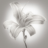 Tiger Lily I Photographic Print by James McLoughlin