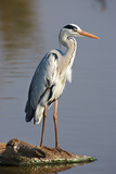 Grey Heron : Ardea Cinerea : South Africa Photographic Print by Johan Swanepoel