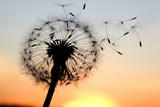 A Dandelion Blowing Seeds in the Wind. Fotografisk trykk av  JanBussan