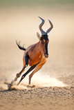 Red Hartebeest Running - Alcelaphus Caama - Kalahari Desert - South Africa Photographic Print by Johan Swanepoel
