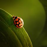 Ladybug (Ladybird) Crawling on the Edge of a Green Leaf Photographic Print by Johan Swanepoel