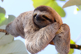 Happy Sloth Hanging on the Tree Photographic Print by Janossy Gergely