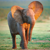 Baby Elephant Photographic Print by Johan Swanepoel