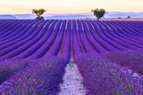Lavender Field Summer Sunset Landscape with Two Tree near Valensole.Provence,France Photographic Print by Fesus Robert