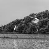 Horizontal Vivid Black and White Stork Couple Love Games on River Background Backdrop Reproduction photographique par  spacedrone808