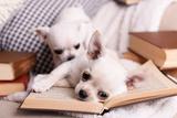 Adorable Chihuahua Dogs with Books on Sofa Valokuvavedos tekijänä Africa Studio