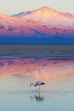 Flamingo, Pink Sunset above Atacama Desert Fotografie-Druck von  longtaildog