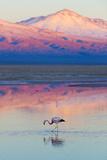 Flamingo, Pink Sunset above Atacama Desert Stampa fotografica di  longtaildog