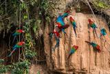 Macaws in Clay Lick in the Peruvian Amazon Jungle at Madre De Dios Peru Fotografisk trykk av  OSTILL