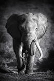 Large Elephant Bull Approaching (Artistic Processing) Photographic Print by Johan Swanepoel